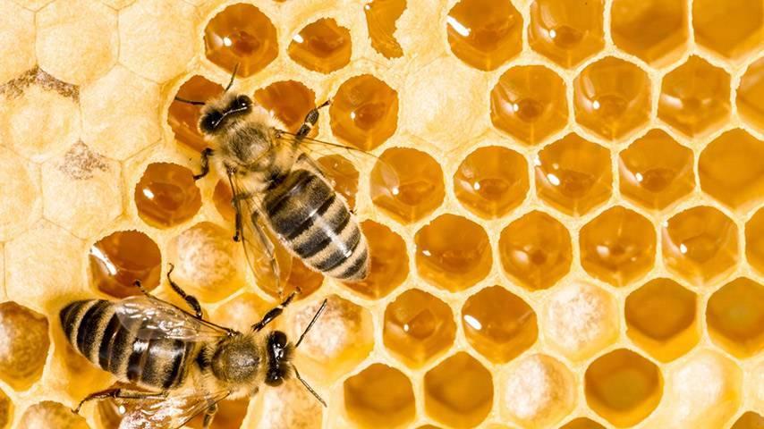 webtv de l 39 universit de nantes pourquoi les abeilles sont elles en voie de disparition. Black Bedroom Furniture Sets. Home Design Ideas
